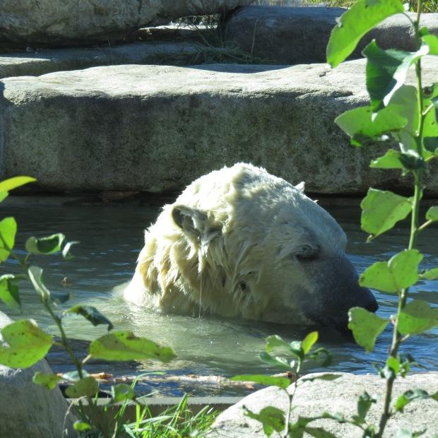 Polar Bear Habitat, Cochrane Ontario    1924 London