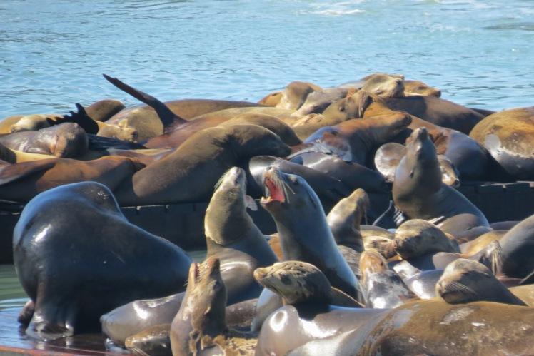 Sea Lions   San Francisco